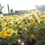 Gaillardia Arizona Sun