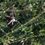Gaura Passionate Blush Rosa