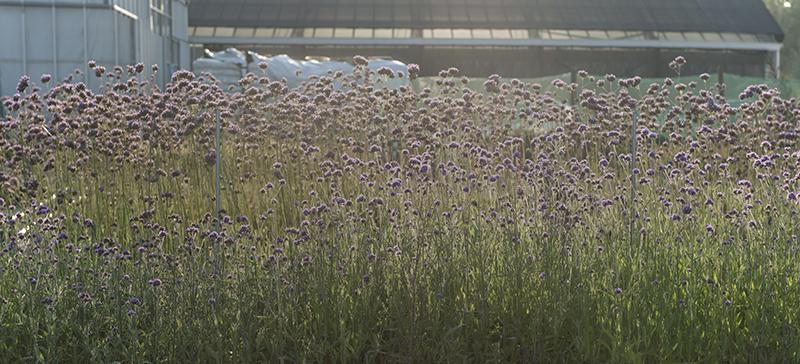 Idroflora :: Verbena
